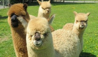 Join us soon on our one-of-a-kind alpaca trekking adventure this summer!  Meet our four alpaca brothers, Buzz, Hugo, Hector and Herbie and Learn all about their adorable quirks surrounded by the majestic Lake District Mountains on our Alpaca Walking Experience.  Book yours today via the link in our bio! #armathwaitehall #lakedistrictwildlifepark #wildlife #summer #alpacatrekking #alpacawalking #alpaca #lakedistrict #lakedistrictuk
