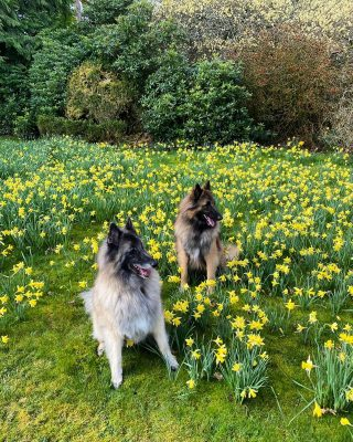 Kai and Koda the Armathwaite Hall dog ambassadors are soaking up the sun and enjoying the spring garden today.   You can too after enjoying a lunch or light bite on the Lime Trees Terrace served between 12.00pm and 5.00pm  To book your table call 017687 76551  #armathwaitehall #outdoordining #lakedistrict #lakedistrictuk #spring #alfrescodining #nationalgardeningday